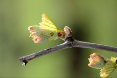 budburst at temperance hill
